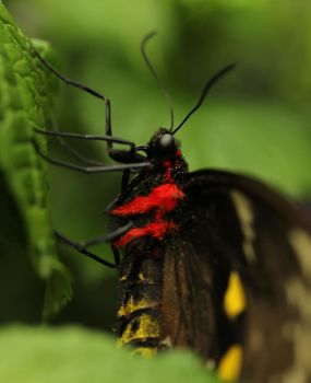 Black And Yellow Butterfly2 by Souzay