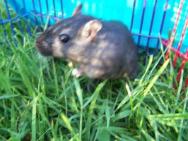 Pippin the Gerbil by hieiluva89