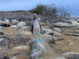 Shy Blue Footed Boobie by AndySerrano