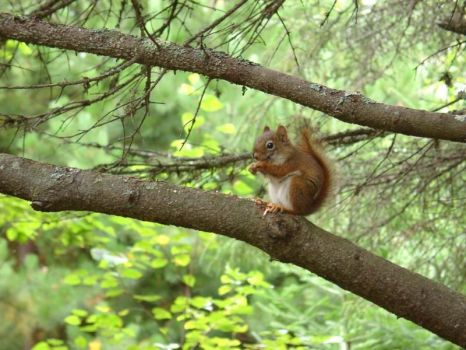 A Red Squirrel by greenflame1