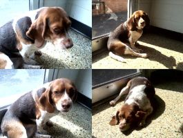 Beagle collage by Reyphotos