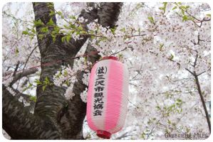Cherry Blossoms 3 by moofestgirl
