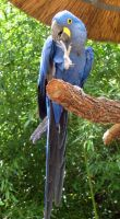 Hyacinth Macaw Stock by ivorydragoness
