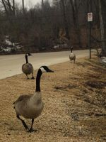 Reservoir Geese by canis7