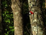Pileated Woodpecker by Kabrial