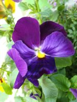 Pansy by Midnight-Magik