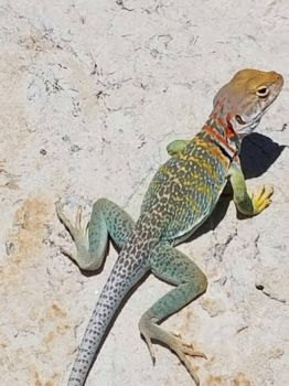 Eastern Collared Lizard by CatrionaLeo