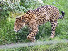 Jaguar 4 by Tasastock