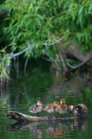 Duckling by bloodrosephotography