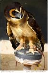 Malaysian Wood Owl by In-the-picture
