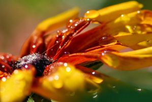 black-eyed Susan by Wilithin
