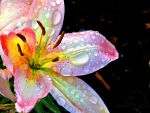 Pink Asiatic Lily by MeanCheen