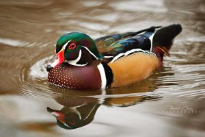 .:Wood Duck Reflection:. by RHCheng