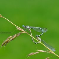 Dragonfly by EmilieDurand