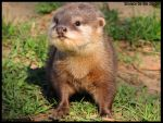 Tiny baby otter by AzureHowlShilach