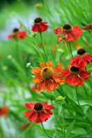 Heleniums by George---Kirk