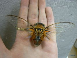 Cicada by Son-of-Italy