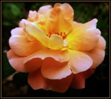 Small Peach Rose by AudraMBlackburnsArt