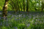 Bluebell Forest by george-kay
