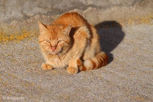Orange cat by Jorapache