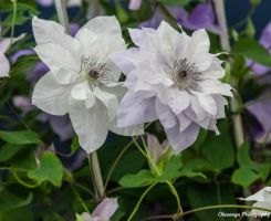 CFS Miscellaneous-6 Clematis by Okavanga