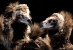 Cinereous Vultures by Entophile
