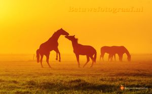 Playing Horses in the mist...... by Betuwefotograaf