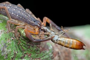 Scorpion eating Earwig by melvynyeo