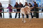 Haflinger Foal_1 by CalyHoney
