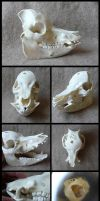 Pot-Bellied Pig Skull by CabinetCuriosities