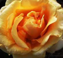 Yellow Rose by SamanthaLenore