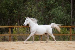 Arab canter mane up stretched by Chunga-Stock