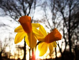 Daffodils in the dusk by GeckoCatcher