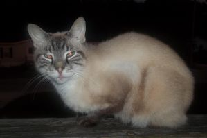 Siamese Cat - Unlimited Use by chelsmith18