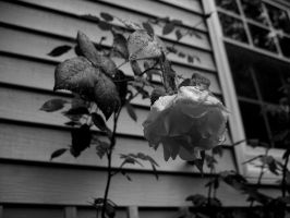 A Rose by Beautiful-Ophiel