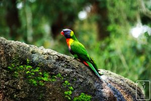 Colourful Rainbow Lorikeet by samuraisushi
