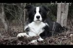 Autumn border collie by BorderLucy