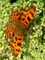 Comma Butterfly by iriscup