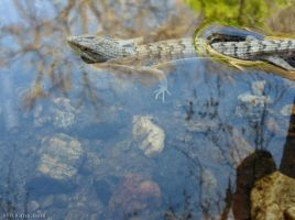 Alligator Lizard in the Water by Art-of-Eric-Wayne