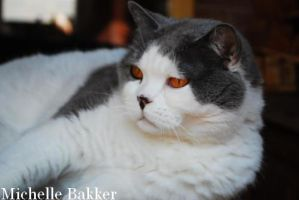 British Shorthair Brenda by MichelleB-Stock
