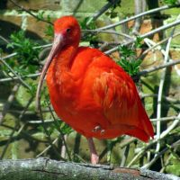 Scarlet Ibis by loganberrybunny