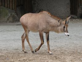 Roan Antelope 04 by animalphotos