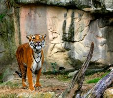 SMILING TIGER by TlCphotography730