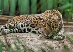 Palm-framed Jaguar by robbobert