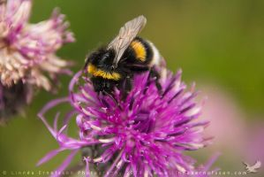 Buff-tailed Bumblebee by linneaphoto