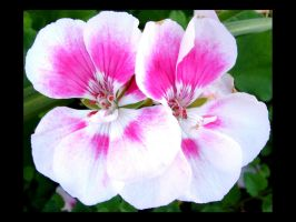 White Pink Flowers by FantasyStock