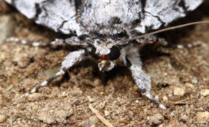 Frontal view of the cool moth by natureguy