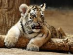 Lighter Amur Tiger Twin by papatheo