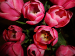 Pink Tulips by creepity