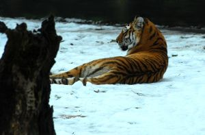 Reclining on the snow. by quaddie